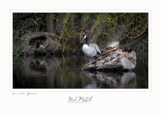 Canada Goose-1216