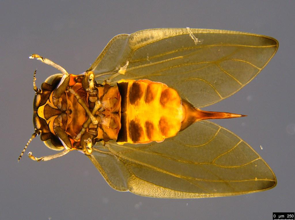 18b - Psyllidae sp.