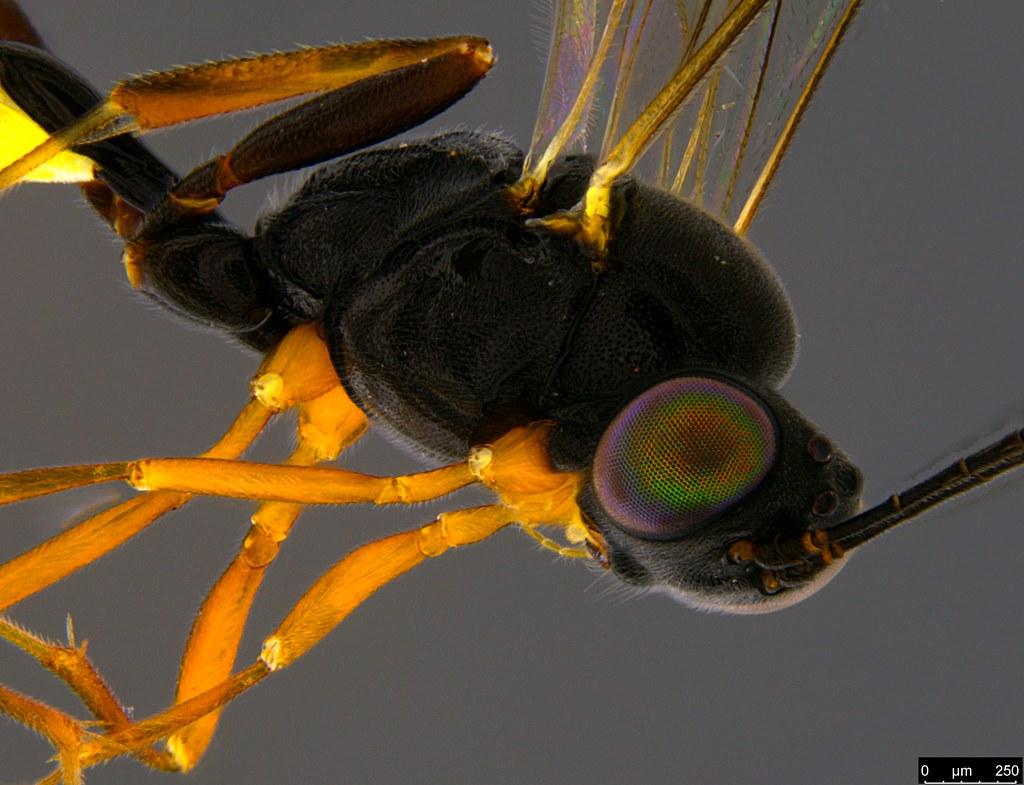 26c - Ichneumonidae sp.