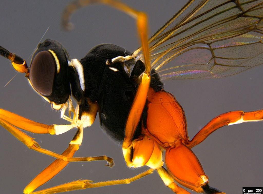29b - Ichneumonidae sp.