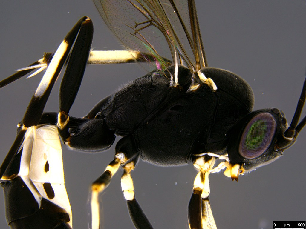 31b - Ichneumonidae sp.