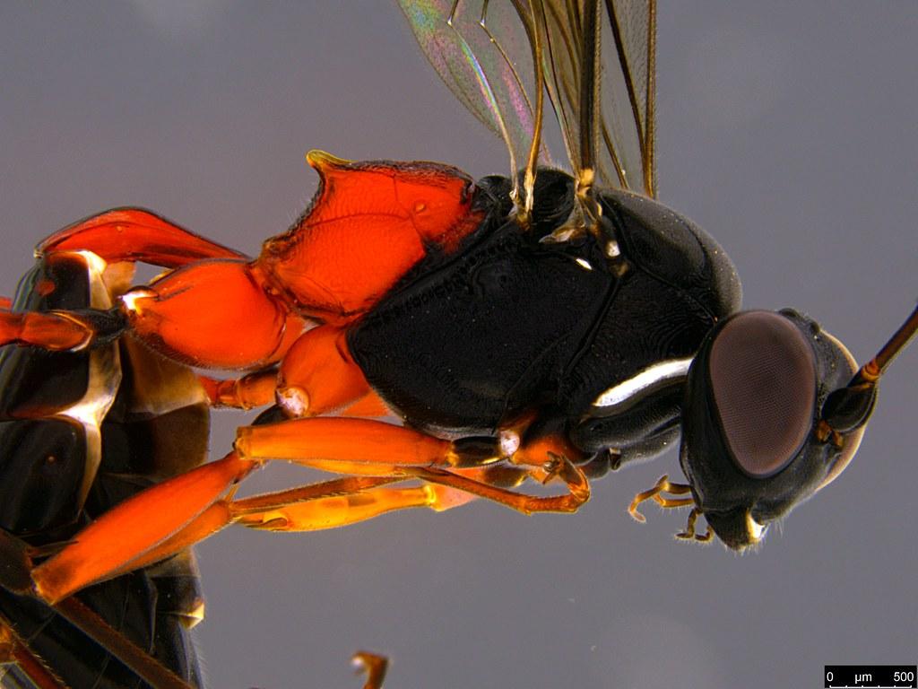 32b - Ichneumonidae sp.