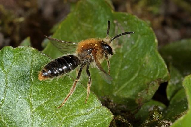 Rolf Nagel-Fl-0383-Andrena haemorrhoa