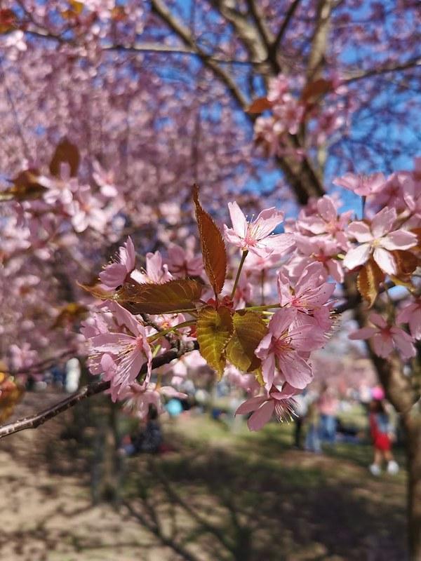 Roihuvuori_kirsikkapuisto_5