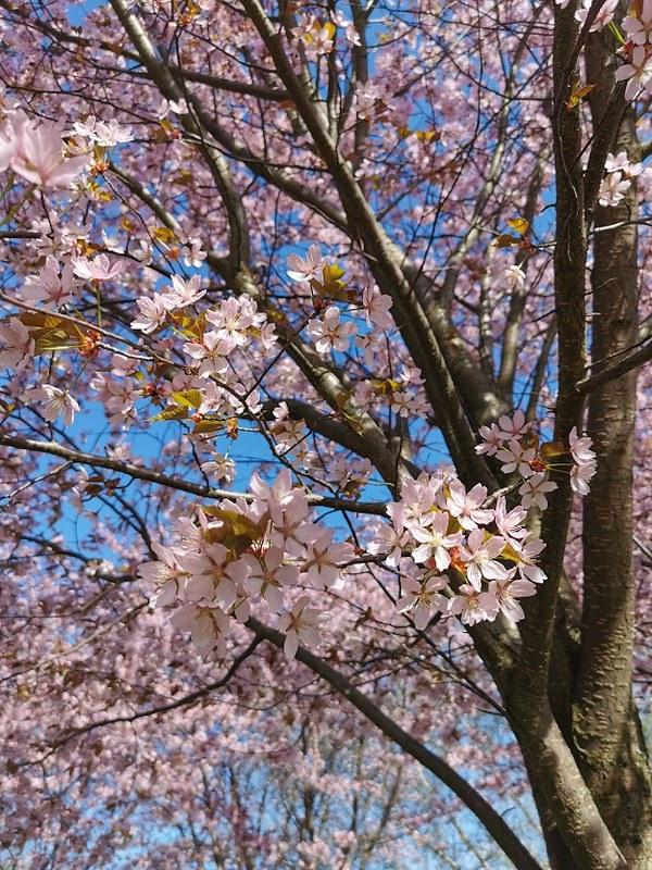 Roihuvuori_kirsikkapuisto_3