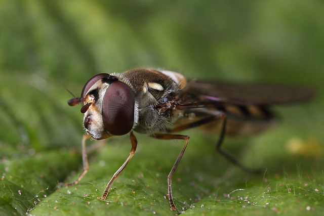 Hoverfly #1
