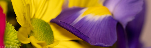 Daisy Iris - Photocredit Neil King-3
