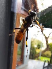 Schlupfwespe (unbestimmt) (Ichneumonidae indet.) (3)