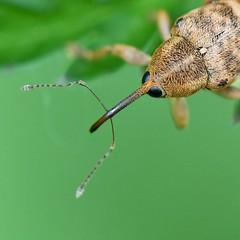 Adern-Eichelbohrer (Curculio venosus) (3)