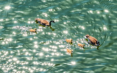 Canada Geese-.jpg