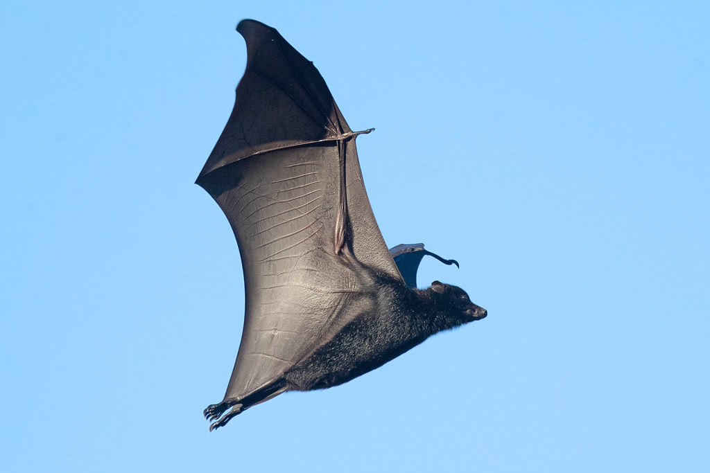 Black Flying Fox (Pteropus alecto)