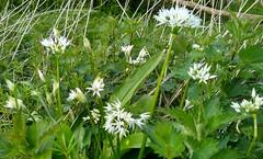 Wild Garlic, local countryside.