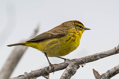 Palm Warbler Bidgood's Park 2021-05-18