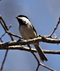 Carolina x Black-capped Chickadee [hybrid] (Poecile carolinensis x atricapillus) 04-05-2021 Green Ridge State Forest--Campsite 99, Allegany Co. MD
