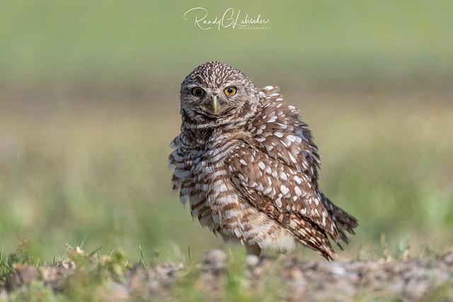 Burrowing Owl | Athene cunicularia | 2021 - 9