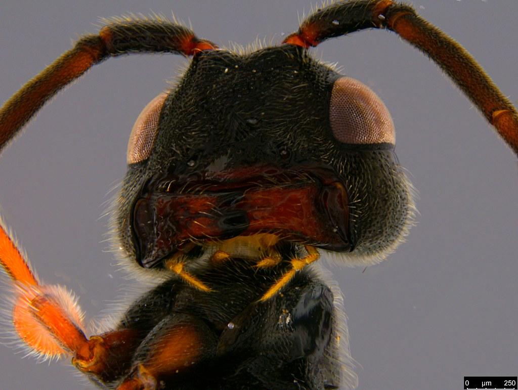 20c - Monomachus antipodalis Westwood , 1874