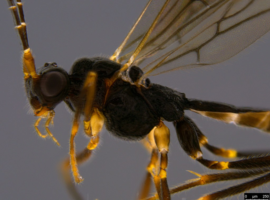 21b - Braconidae sp.