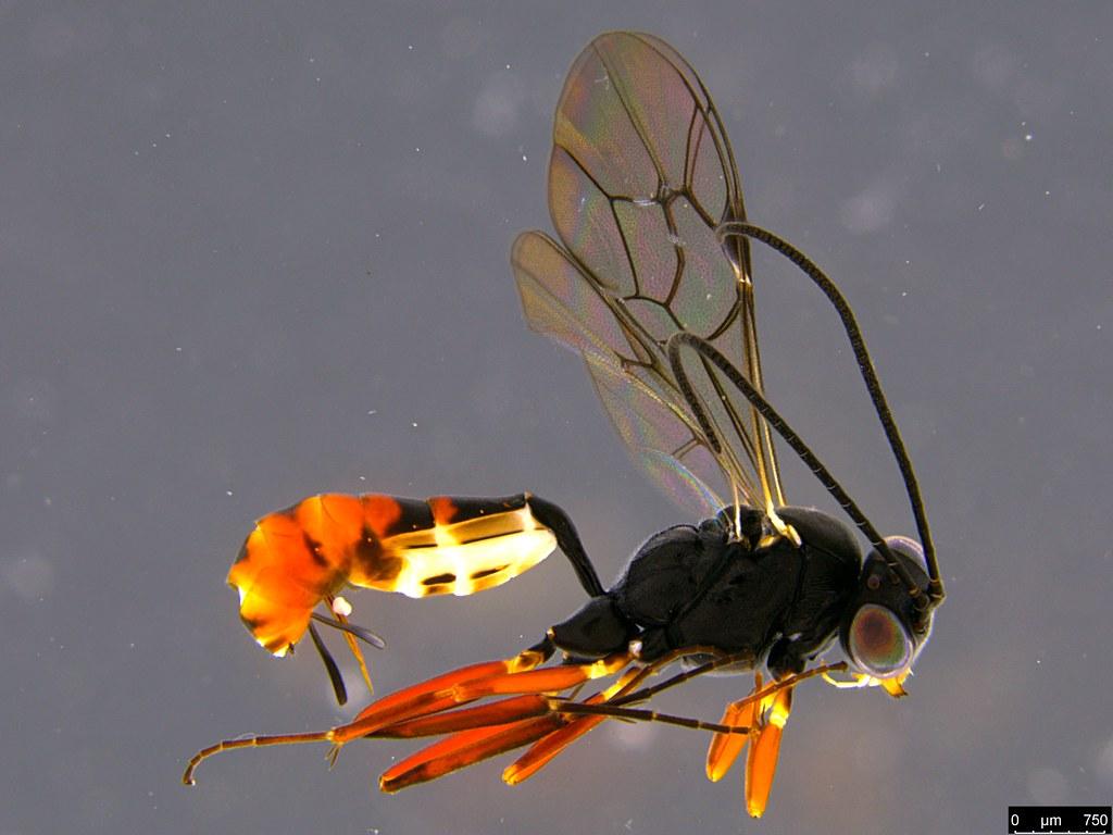 27a - Ichneumonidae sp.