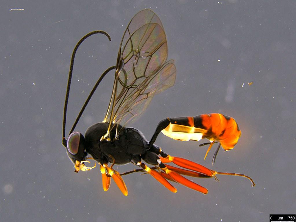 27b - Ichneumonidae sp.