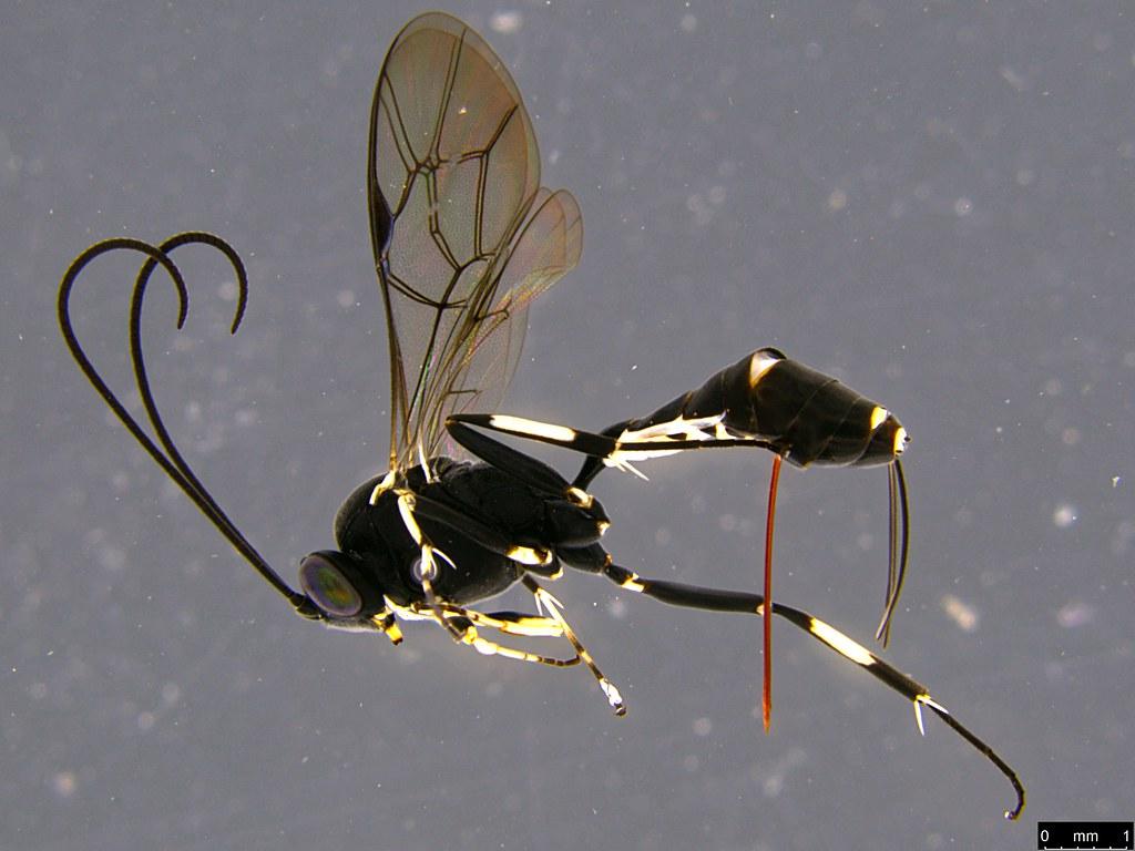 30a - Ichneumonidae sp.