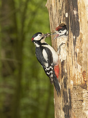 Great spotted woodpecker feeding young.