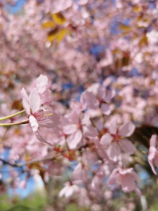 Roihuvuori_kirsikkapuisto_7