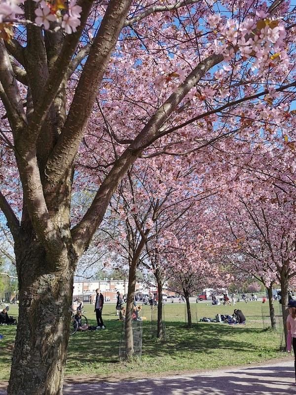 Roihuvuori_kirsikkapuisto_4