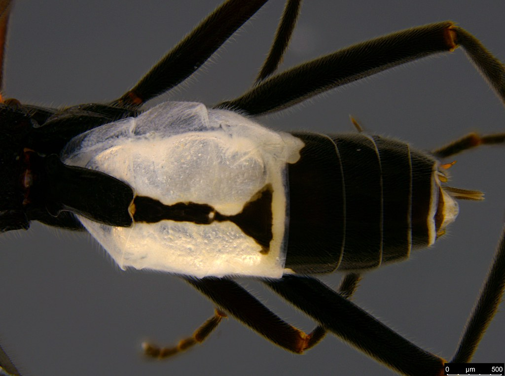 24b - Braconidae sp.