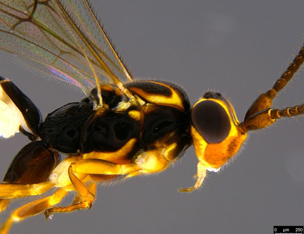 25b - Ichneumonidae sp.