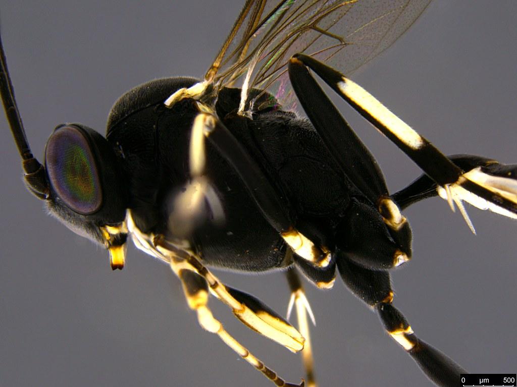 30b - Ichneumonidae sp.