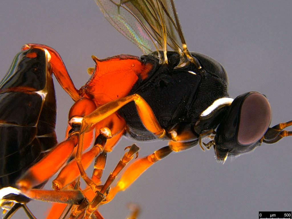 33b - Ichneumonidae sp.
