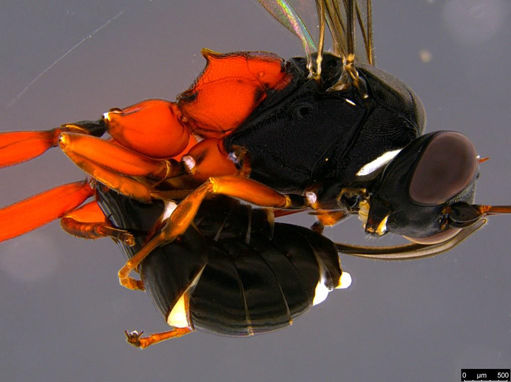 34 - Ichneumonidae sp.