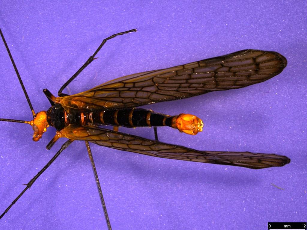 39a - Chorista australis Klug, 1838