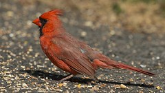 Cardinal rouge (mâle) 51187457450_d9c00743e2_m