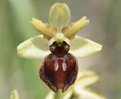 Echte Spinnen-Ragwurz (Ophrys sphegodes subsp. sphegodes) (2)
