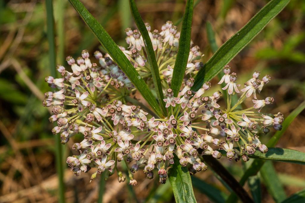 Long-leaf Milkweed