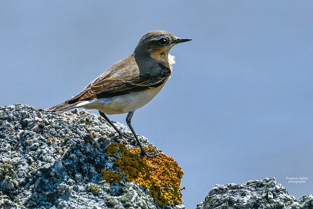 Traquet motteux (Oenanthe oenanthe) Northern Wheatear