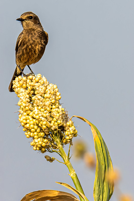 Pied Bush Chat (Saxicola caprata), Magadi Bird Sanctuary, Gadag