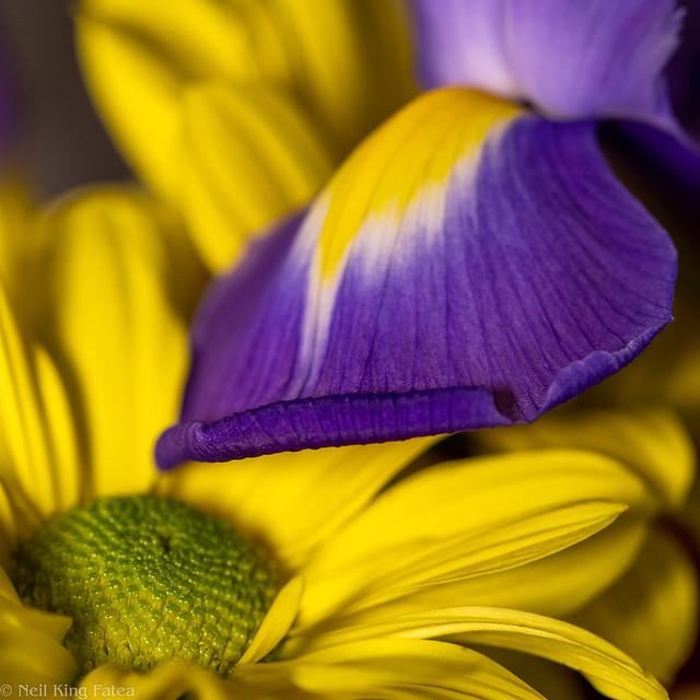 Daisy Iris - Photocredit Neil King-2