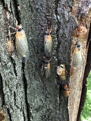 Cicada invasion under way!