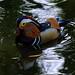 Mandarin Duck-2.jpg