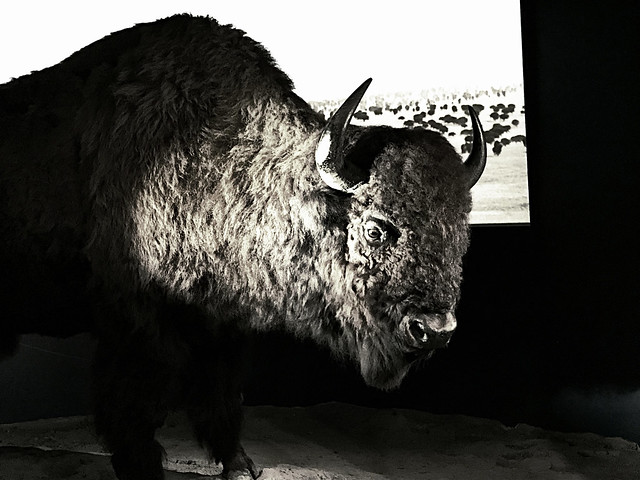 bison on display