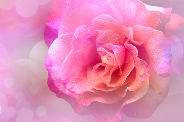rose with bokeh :-)