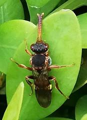 Schlupfwespe (unbestimmt) (Ichneumonidae indet.) (2)