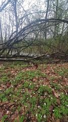 Hvitveis/anemoner ved Akerselva