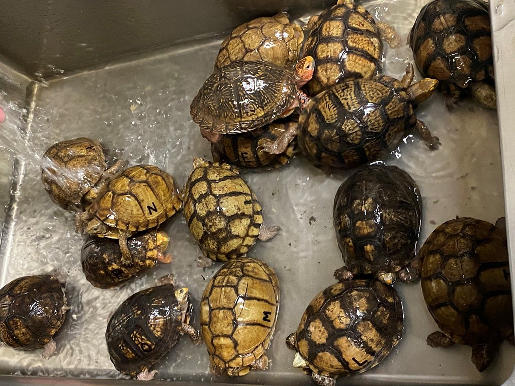 Mexican box turtles being watered before transfer to the Memphis zoo.