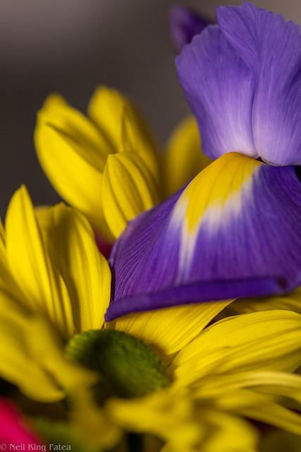 Daisy Iris - Photocredit Neil King-1