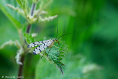 Scorpion Fly - Panorpa germanica