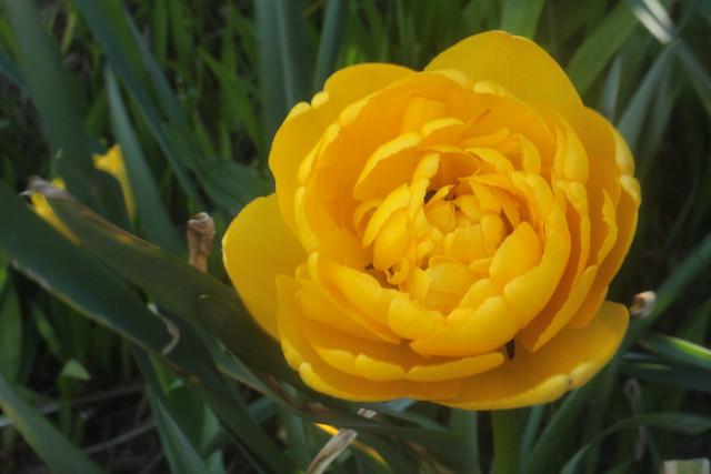 Golden Yellow Ranunculus