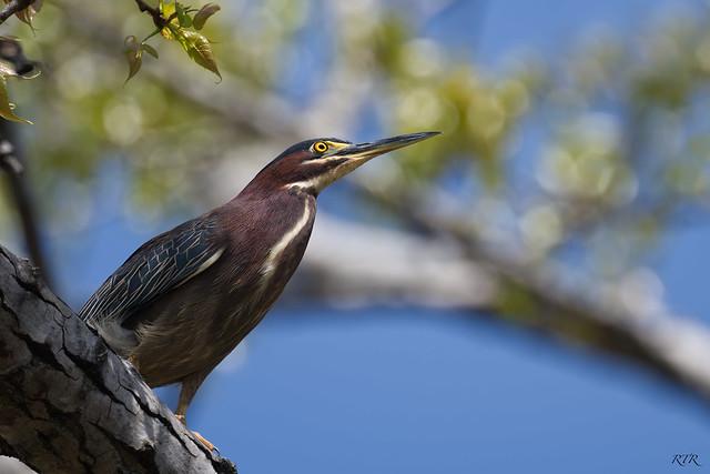 Green Heron in Tree!